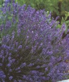 Цветы лаванда фото комнатная растения